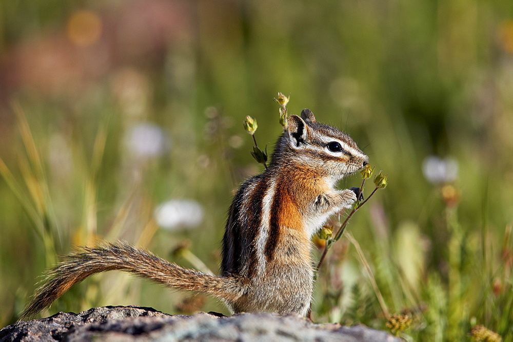Least chipmunk (Tamias minimus) (Neotamias minimus) (Eutamias minimus), San Juan National Forest, Colorado, United States of America, North America