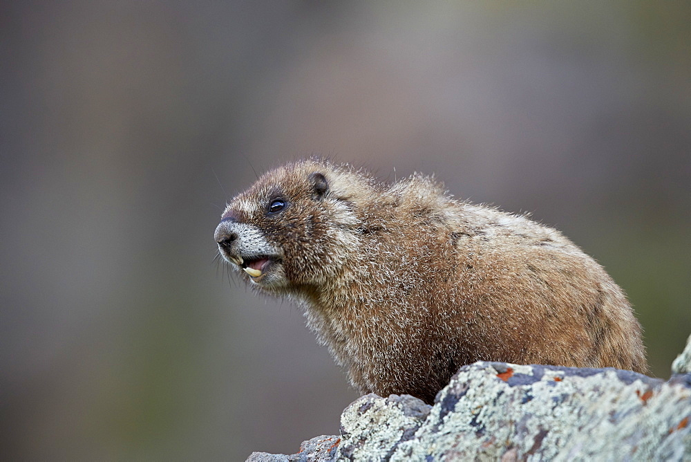 Yellow-Bellied Marmot or Yellowbelly Marmot (Marmota flaviventris) calling, San Juan National Forest, Colorado, USA