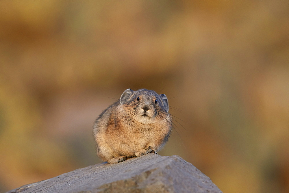 American pika (Ochotona princeps), San Juan National Forest, Colorado, United States of America, North America