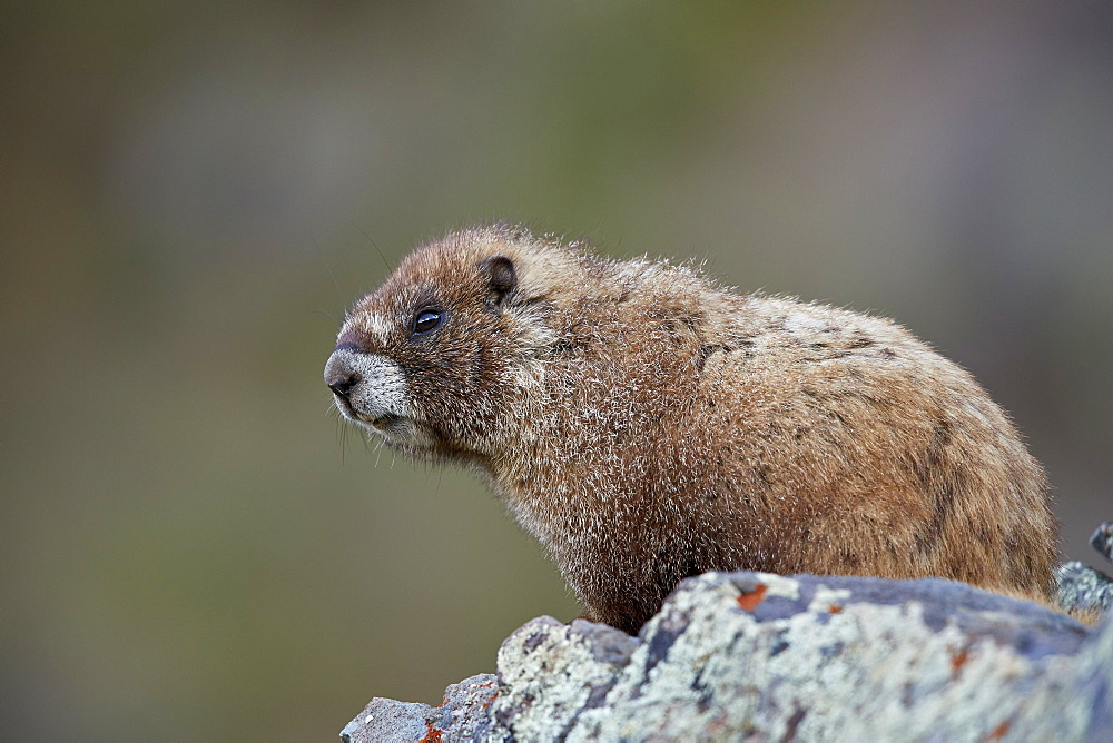 Yellow-Bellied Marmot or Yellowbelly Marmot (Marmota flaviventris), San Juan National Forest, Colorado, USA