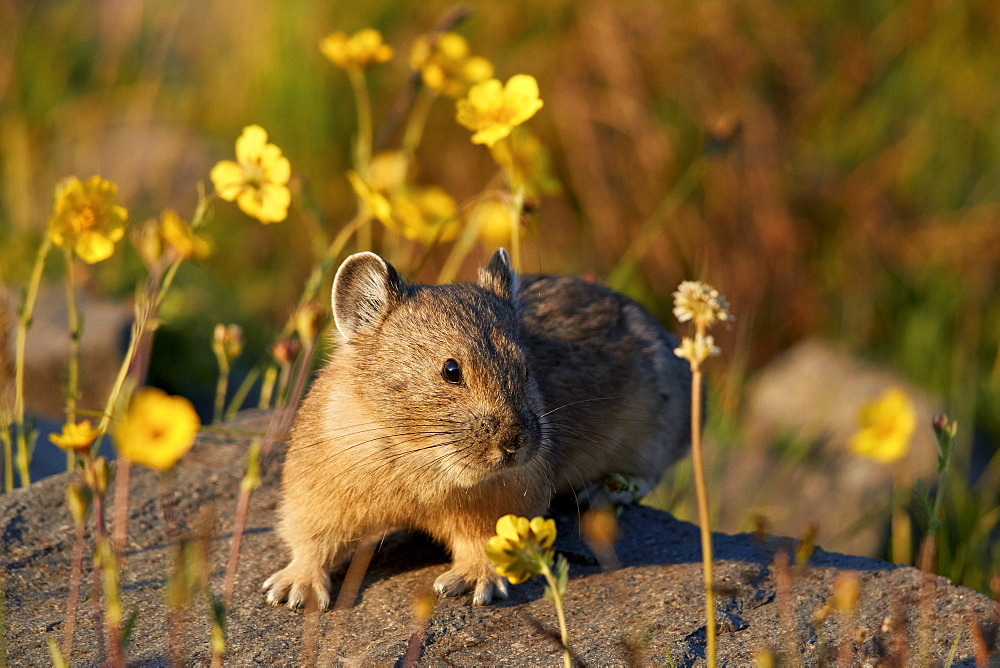 American pika (Ochotona princeps) among yellow wildflowers, San Juan National Forest, Colorado, United States of America, North America