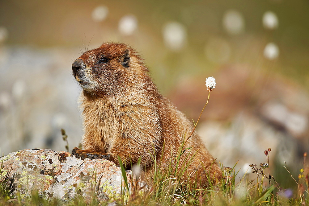 Yellow-bellied marmot (yellowbelly marmot) (Marmota flaviventris) among bistort, San Juan National Forest, Colorado, United States of America, North America