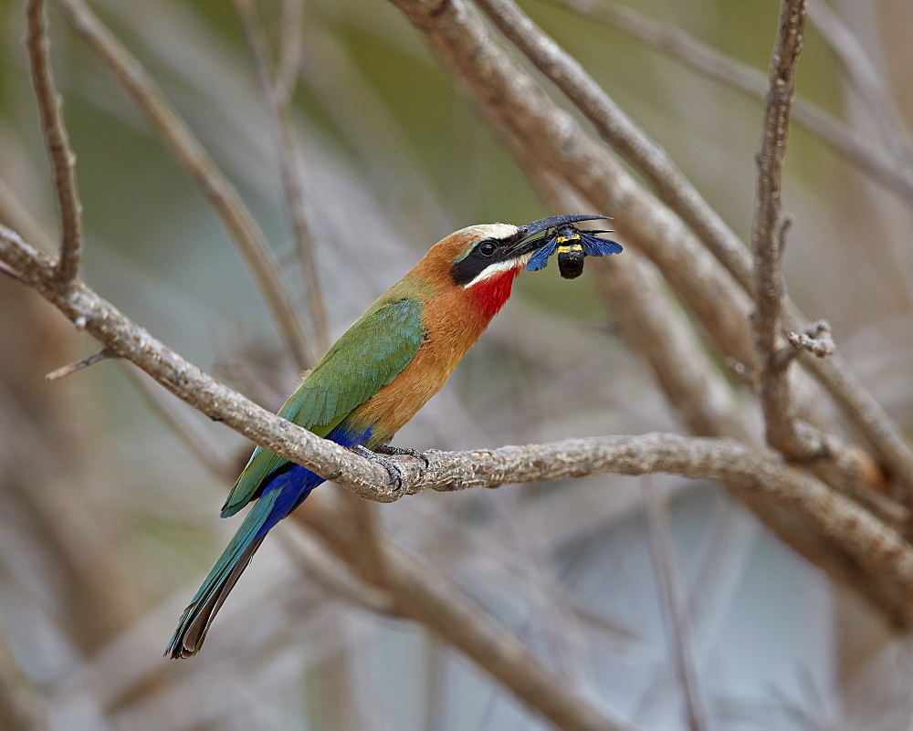 White-fronted bee-eater (Merops bullockoides) with a bee, Selous Game Reserve, Tanzania, East Africa, Africa