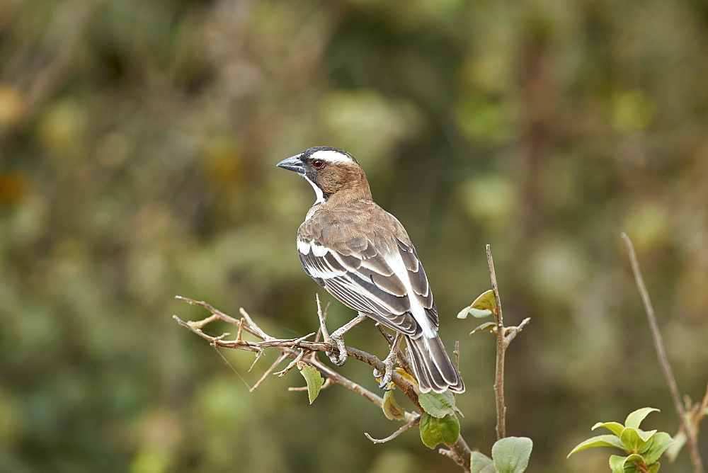 White-browed sparrow-weaver (Plocepasser mahali), Selous Game Reserve, Tanzania, East Africa, Africa