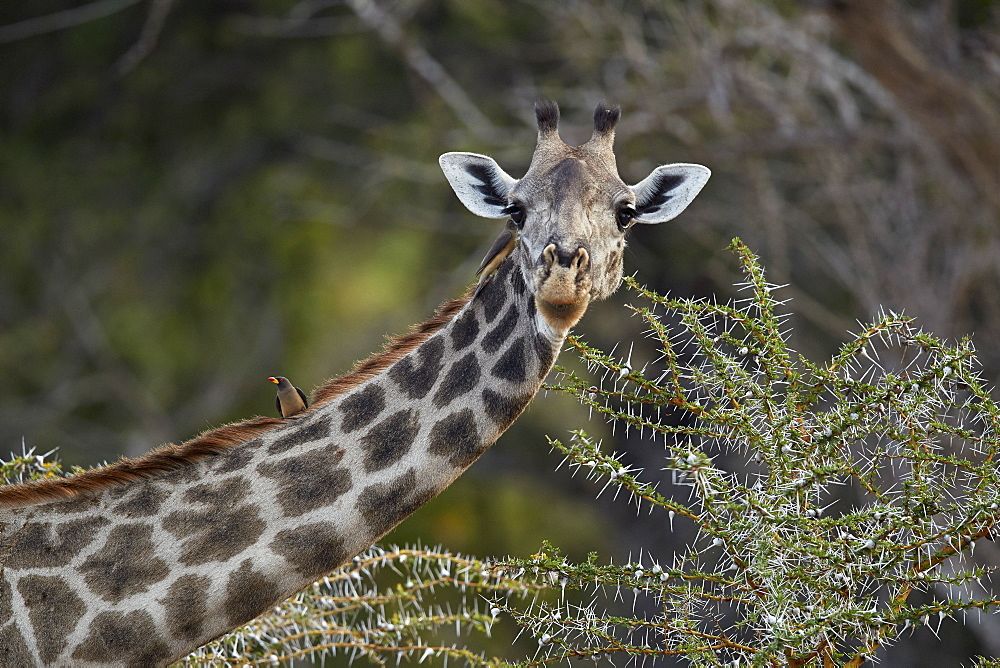 Masai giraffe (Giraffa camelopardalis tippelskirchi) with a red-billed oxpecker (Buphagus erythrorhynchus), Selous Game Reserve, Tanzania, East Africa, Africa