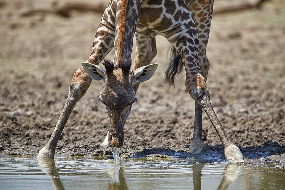 Masai Giraffe (Giraffa camelopardalis tippelskirchi) drinking, Selous Game Reserve, Tanzania