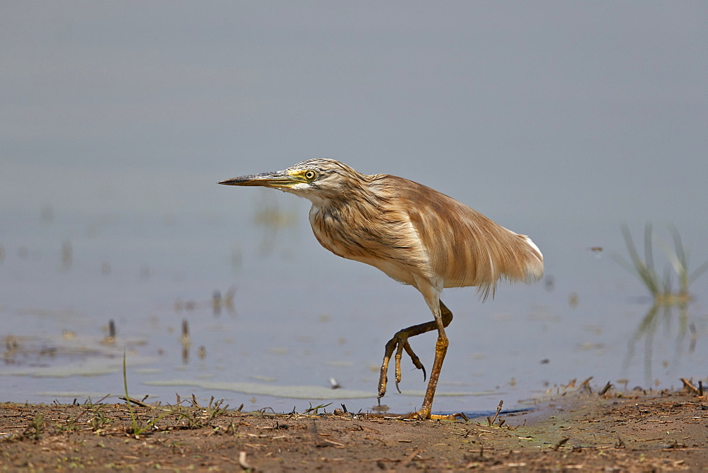 Common Squacco heron (Ardeola ralloides), immature, Selous Game Reserve, Tanzania, East Africa, Africa
