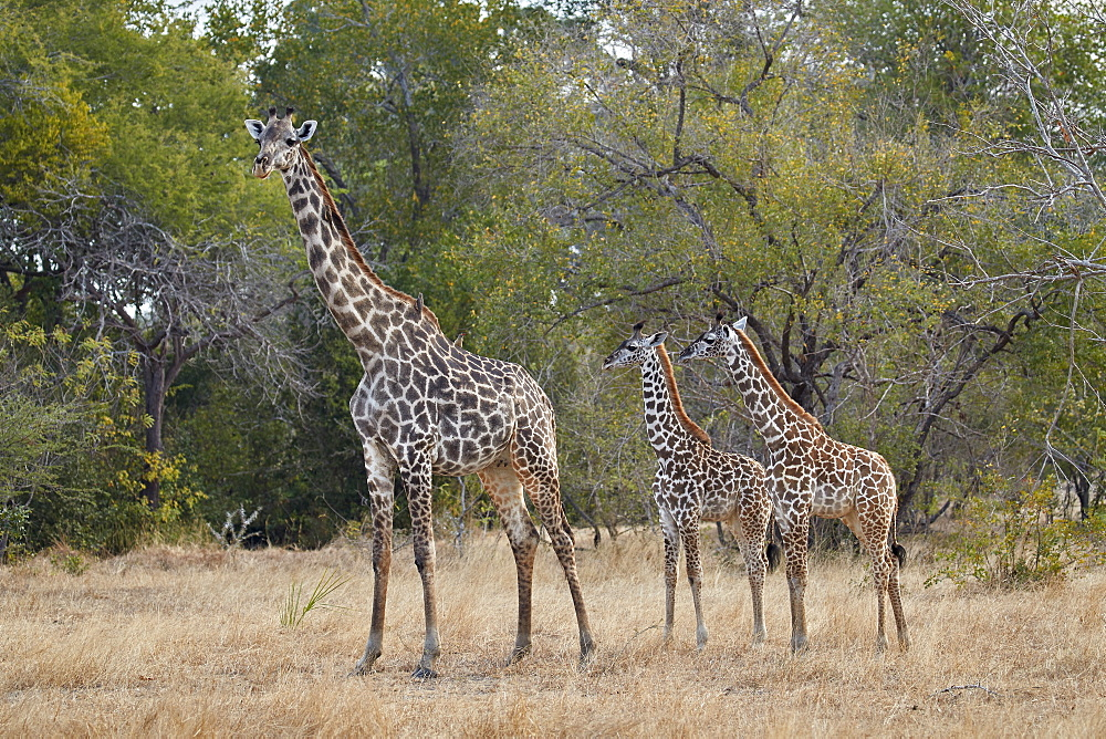Masai giraffe (Giraffa camelopardalis tippelskirchi), adult and two juveniles, Selous Game Reserve, Tanzania, East Africa, Africa