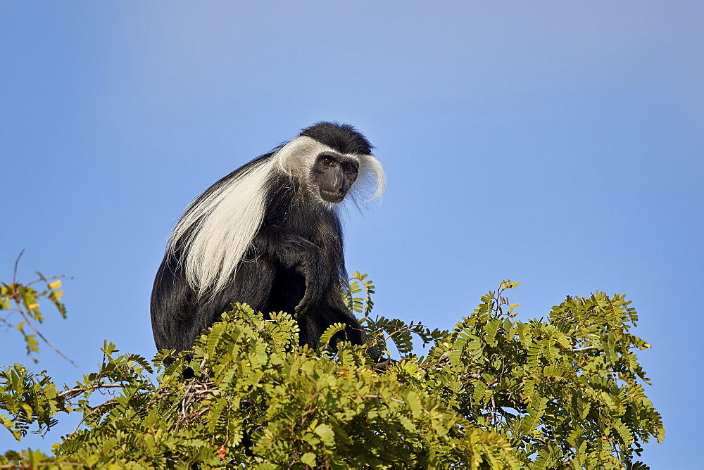 Angola Colobus (Angolan black-and-white colobus) (Angolan colobus) (Colobus angolensis), Selous Game Reserve, Tanzania, East Africa, Africa