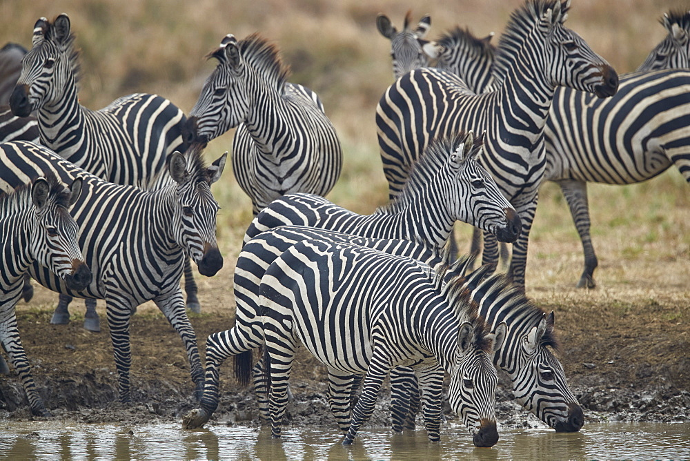 Group of Common Zebra or Plains Zebra or Burchell's Zebra (Equus burchelli) drinking, Mikumi National Park, Tanzania