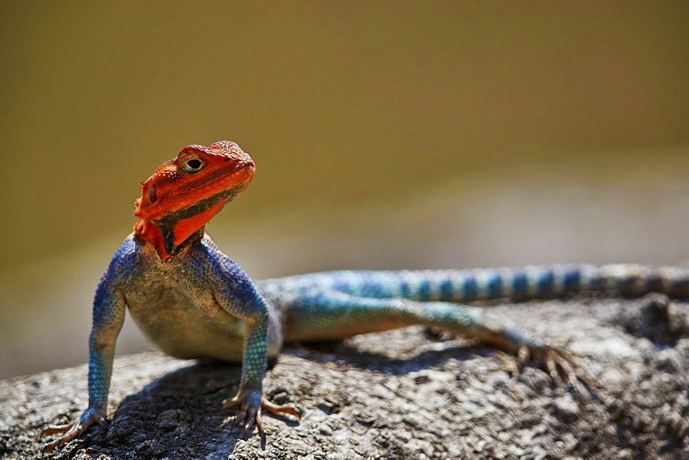 Common Agama, Red-Headed Rock Agama, or Rainbow Agama (Agama agama), male; Ruaha National Park, Tanzania