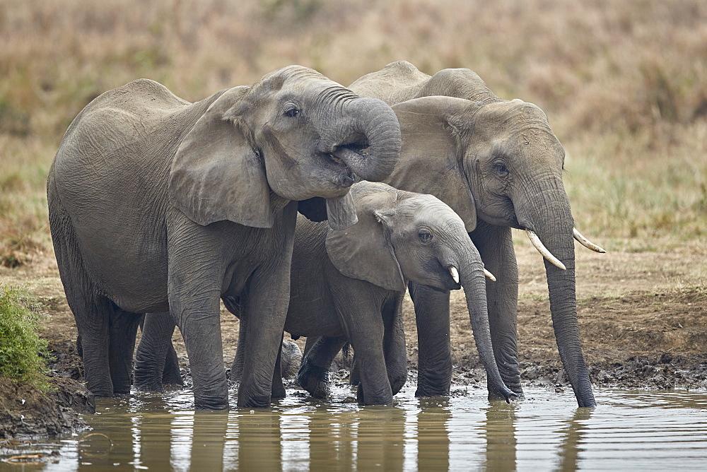Three African Elephant (Loxodonta africana) drinking, Mikumi National Park, Tanzania