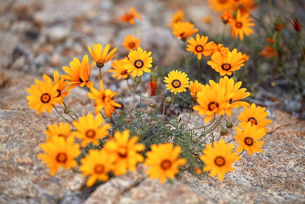 Namaqualand Daisy or Jakkalsblom (Dimorphotheca sinuata), Namakwa, Namaqualand, South Africa