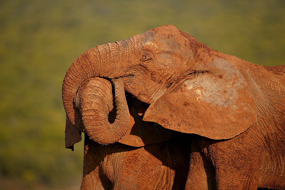 Two African elephant (Loxodonta africana) embracing, Addo Elephant National Park, South Africa, Africa