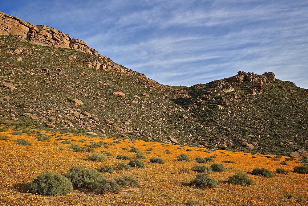 Field of Namaqualand Daisy or Jakkalsblom (Dimorphotheca sinuata), Namakwa, Namaqualand, South Africa