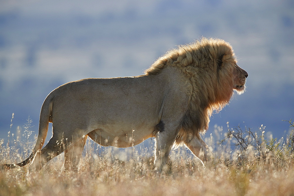 Lion (Panthera leo), Mountain Zebra National Park, South Africa, Africa