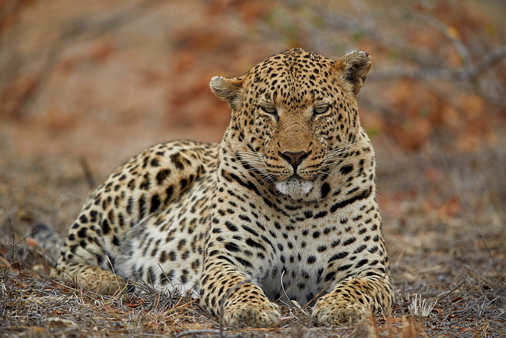 Leopard (Panthera pardus), male, Kruger National Park, South Africa