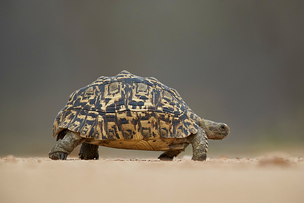 Leopard Tortoise (Geochelone pardalis), Kruger National Park, South Africa