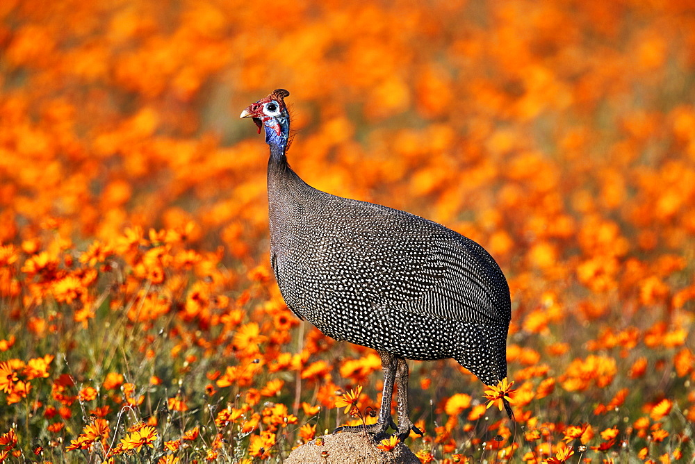 Helmeted Guineafowl (Numida meleagris) among orange wildflowers (Namaqualand Daisies and Glossy-Eyed Mountain Daisies), Namaqua