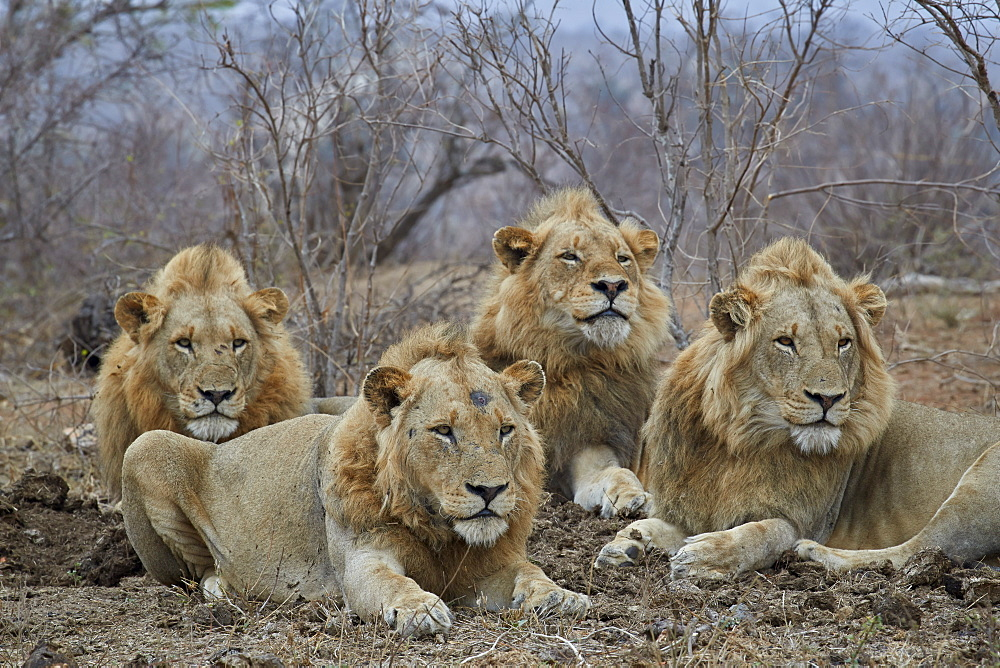 Four male Lion (Panthera leo), Kruger National Park, South Africa
