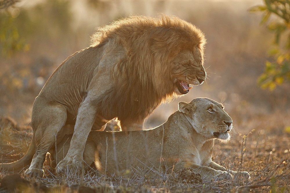 Lion (Panthera leo) pair mating, Kruger National Park, South Africa