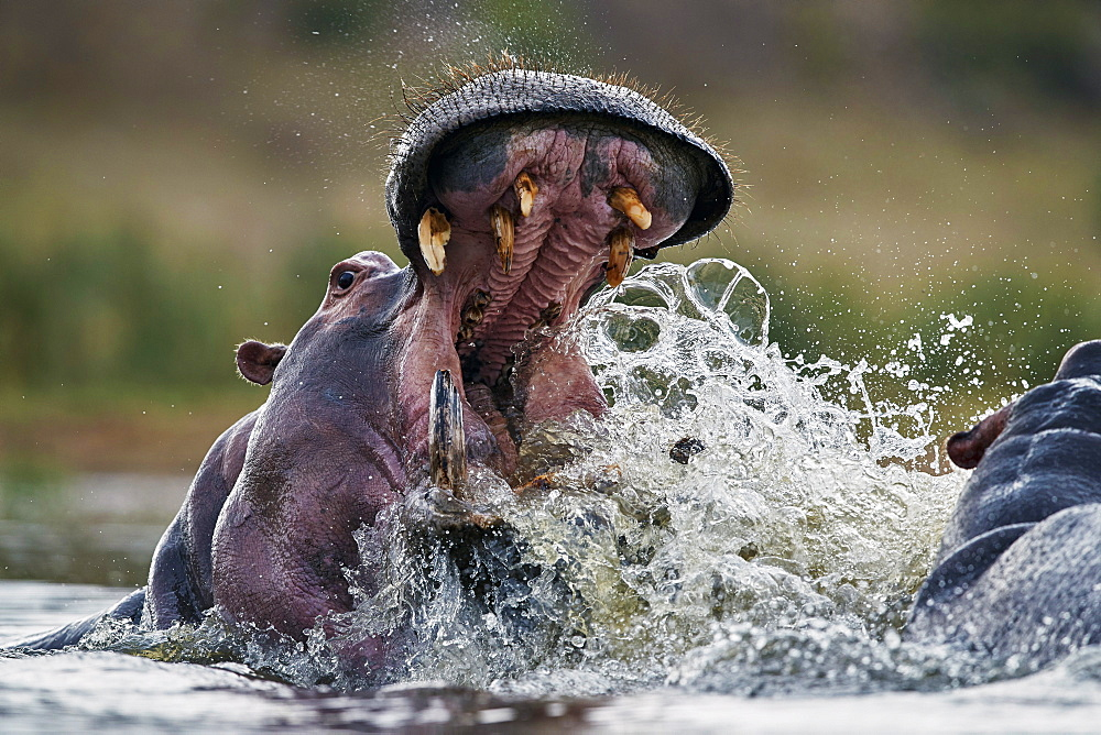 Hippopotamus (Hippopotamus amphibius) sparring, Kruger National Park, South Africa, Africa
