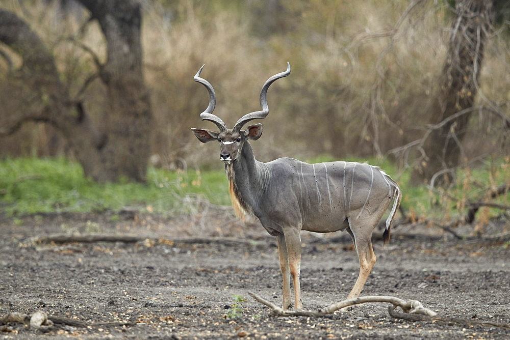Greater kudu (Tragelaphus strepsiceros) bull, Selous Game Reserve, Tanzania, East Africa, Africa