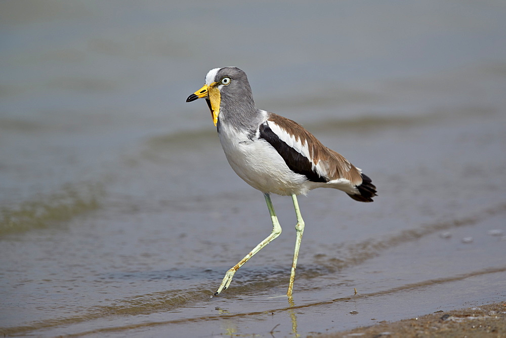 White-crowned lapwing (white-headed lapwing) (white-headed plover) (white-crowned plover) (Vanellus albiceps), Selous Game Reserve, Tanzania, East Africa, Africa - 764-5603
