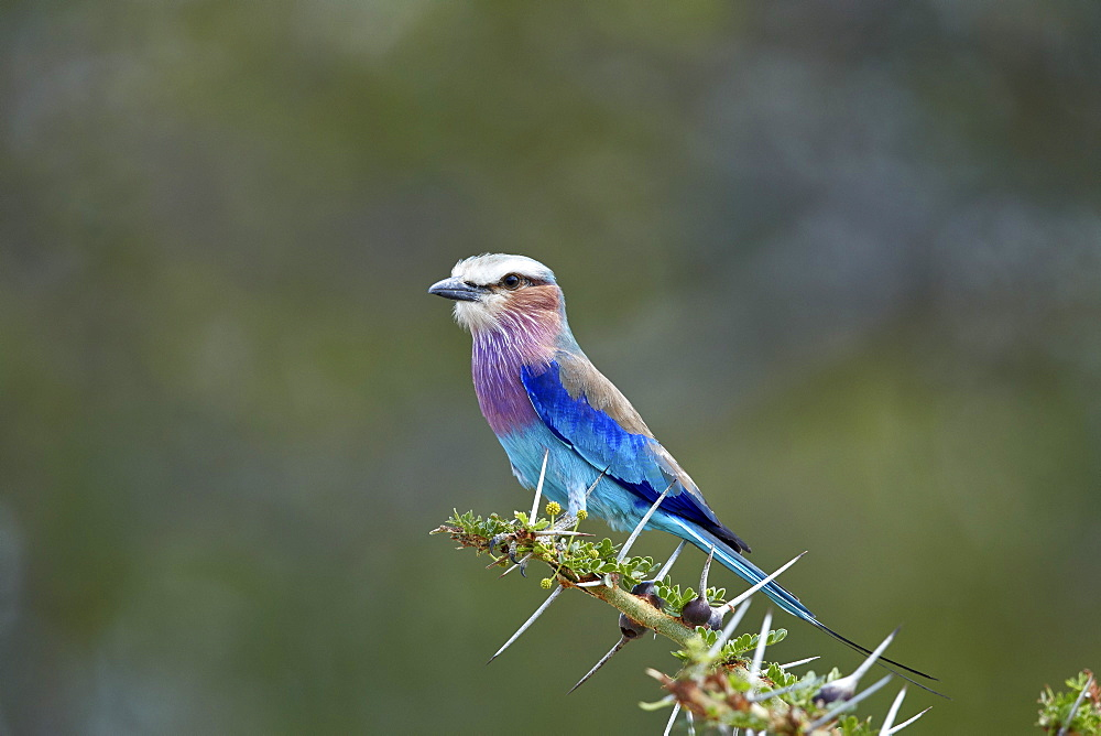 Lilac-breasted roller (Coracias caudata), Selous Game Reserve, Tanzania, East Africa, Africa