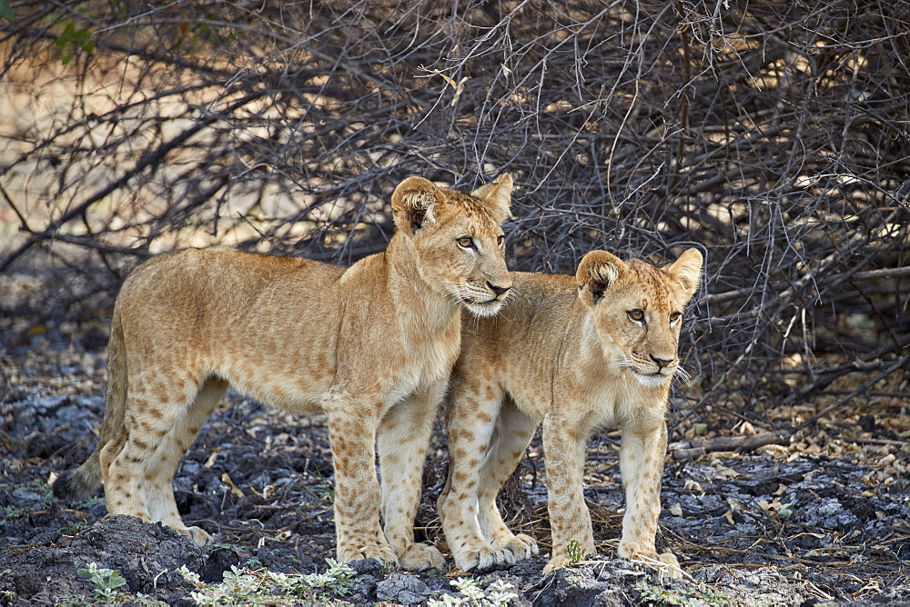 Two lion (Panthera leo) cubs, Selous Game Reserve, Tanzania, East Africa, Africa
