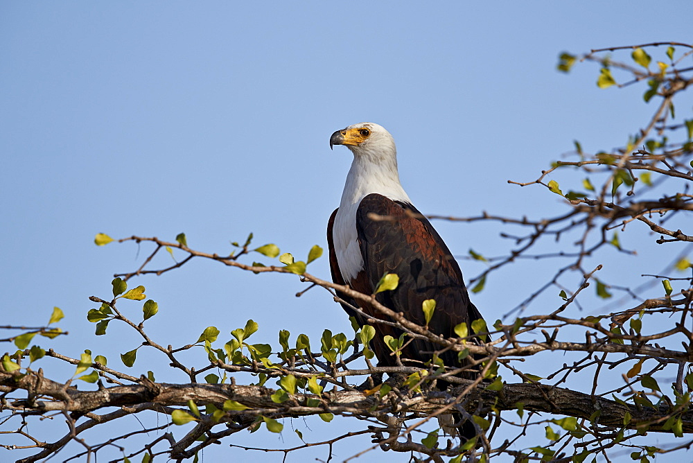 African fish eagle (Haliaeetus vocifer), Selous Game Reserve, Tanzania, East Africa, Africa