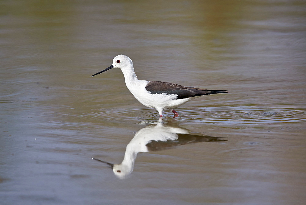 Black-winged stilt (Himantopus himantopus), Selous Game Reserve, Tanzania, East Africa, Africa