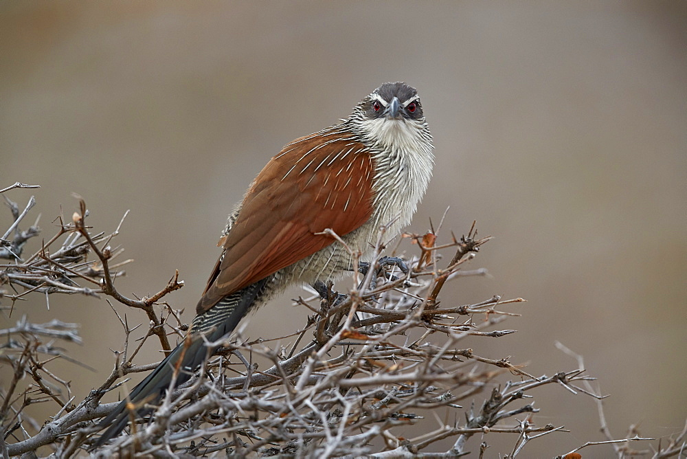 White-browed coucal (Centropus superciliosus), Selous Game Reserve, Tanzania, East Africa, Africa