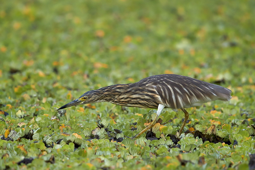Madagascar Squacco Heron, Madagascar Pond-Heron, or Malagasy Pond-Heron (Ardeola idae), Selous Game Reserve, Tanzania