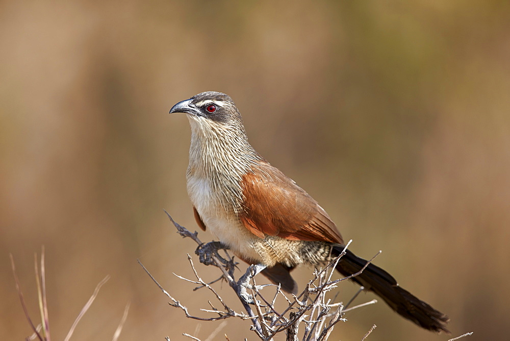White-browed coucal (Centropus superciliosus), Selous Game Reserve, Tanzania, East Africa, Africa - 764-5634