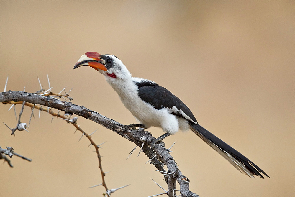 Von Der Decken's Hornbill (Tockus deckeni), male, Selous Game Reserve, Tanzania