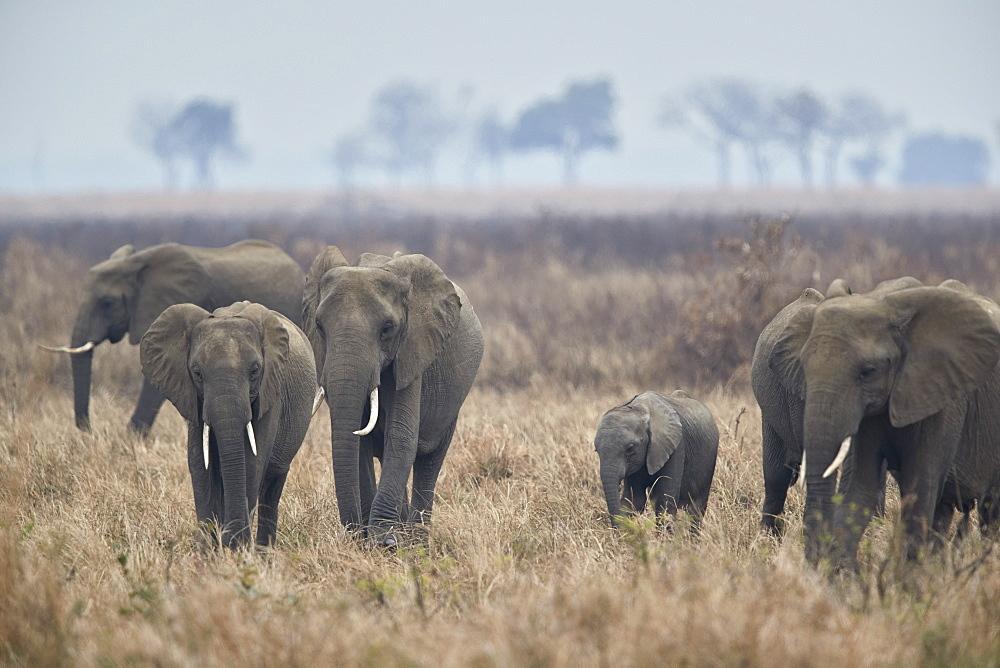 Herd of African Elephant (Loxodonta africana), Mikumi National Park, Tanzania