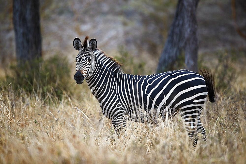 Ccommon zebra (plains zebra) (Burchell's zebra) (Equus burchelli), Selous Game Reserve, Tanzania, East Africa, Africa