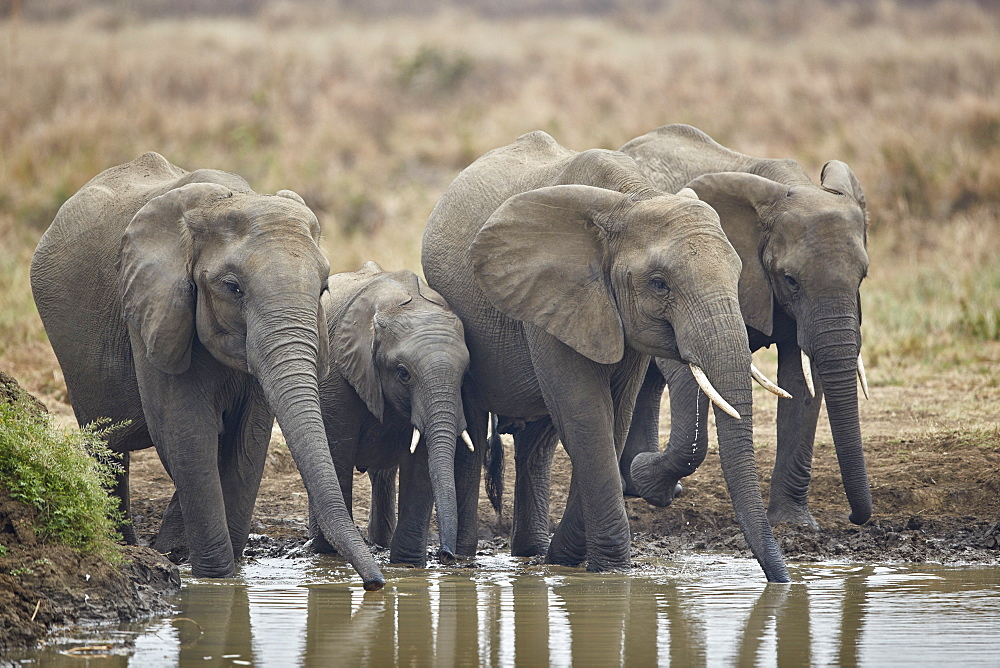 African Elephant (Loxodonta africana) drinking, Mikumi National Park, Tanzania