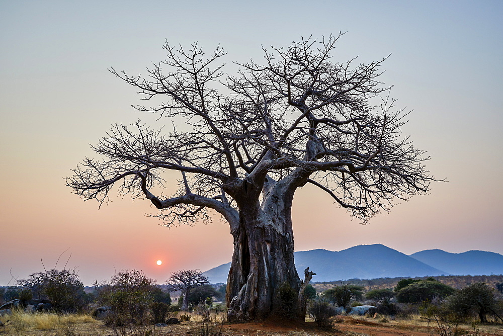 Baobab (Adansonia digitata) at sunrise, Ruaha National Park, Tanzania, East Africa, Africa