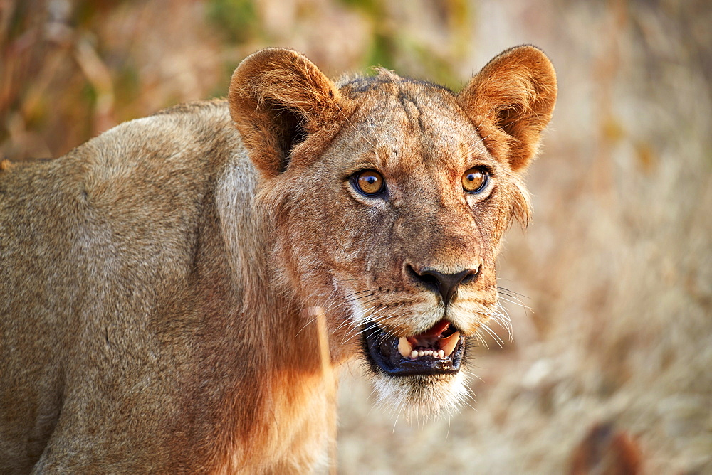 Lion (Panthera leo), young male, Ruaha National Park, Tanzania, East Africa, Africa - 764-5645