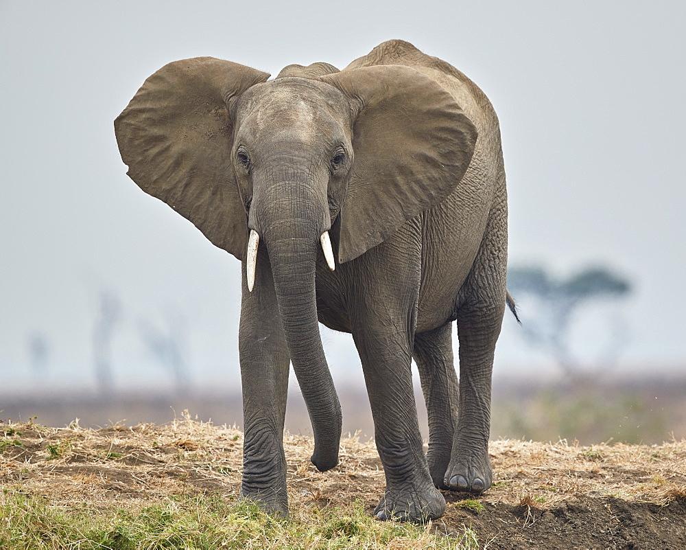 African Elephant (Loxodonta africana), Mikumi National Park, Tanzania