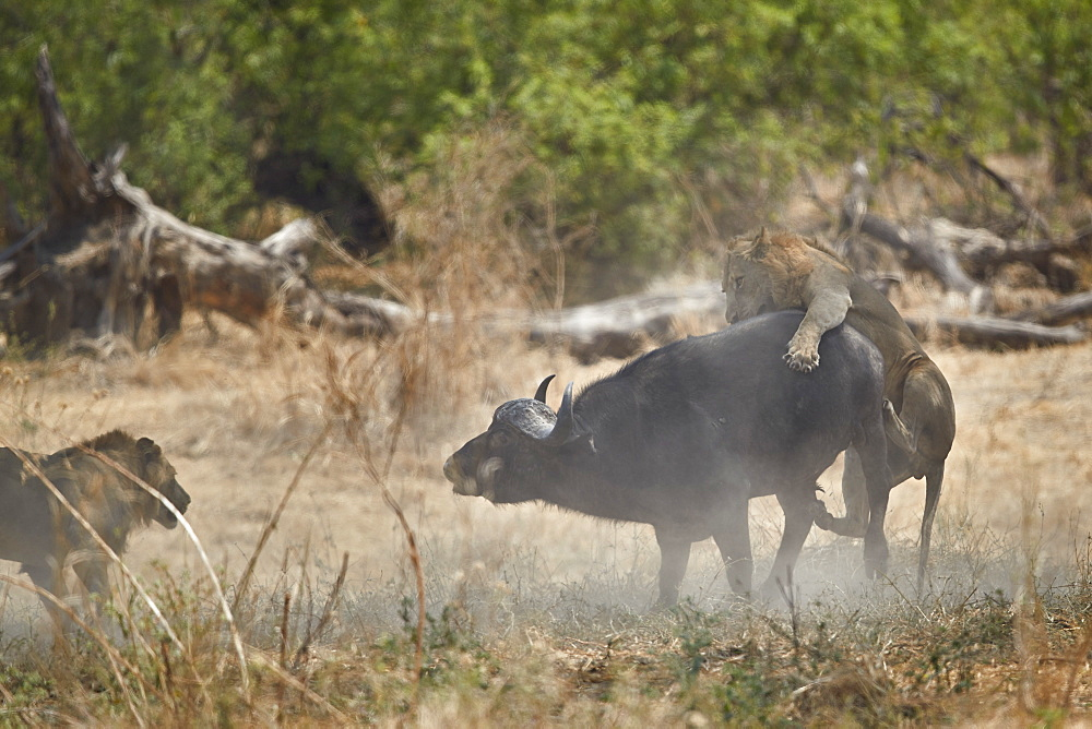 Two male lion (Panthera leo) attacking a Cape Buffalo (African Buffalo) (Syncerus caffer), Ruaha National Park, Tanzania, East Africa, Africa