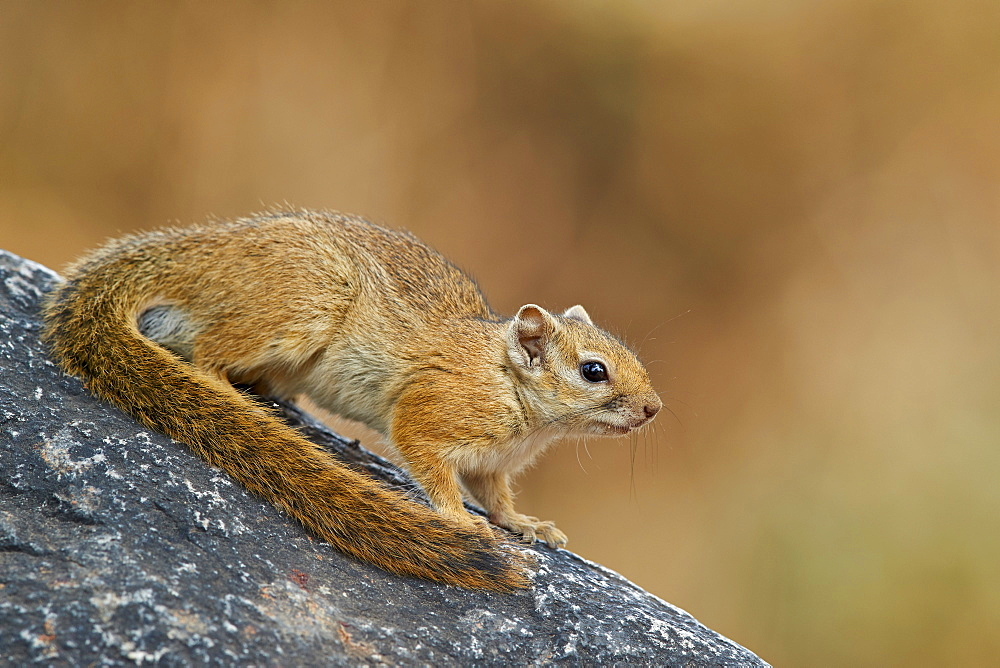 Tree Squirrel (Smith's bush squirrel) (yellow-footed squirrel) (Paraxerus cepapi), Ruaha National Park, Tanzania, East Africa, Africa
