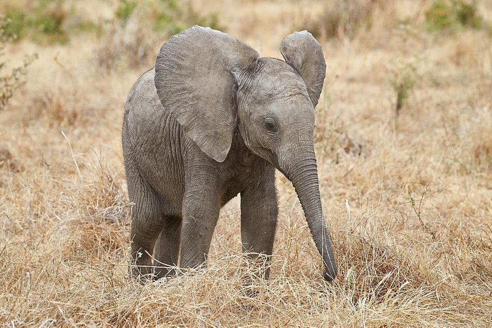 Baby African elephant (Loxodonta africana), Ruaha National Park, Tanzania, East Africa, Africa