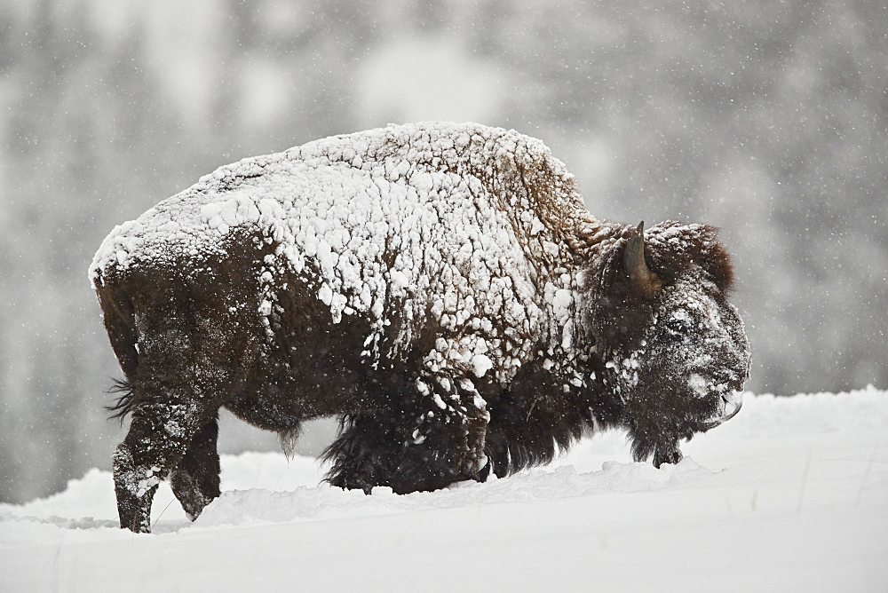 Bison (Bison bison) bull covered with snow in snowfall in the winter, Yellowstone National Park, Wyoming, United States of America, North America