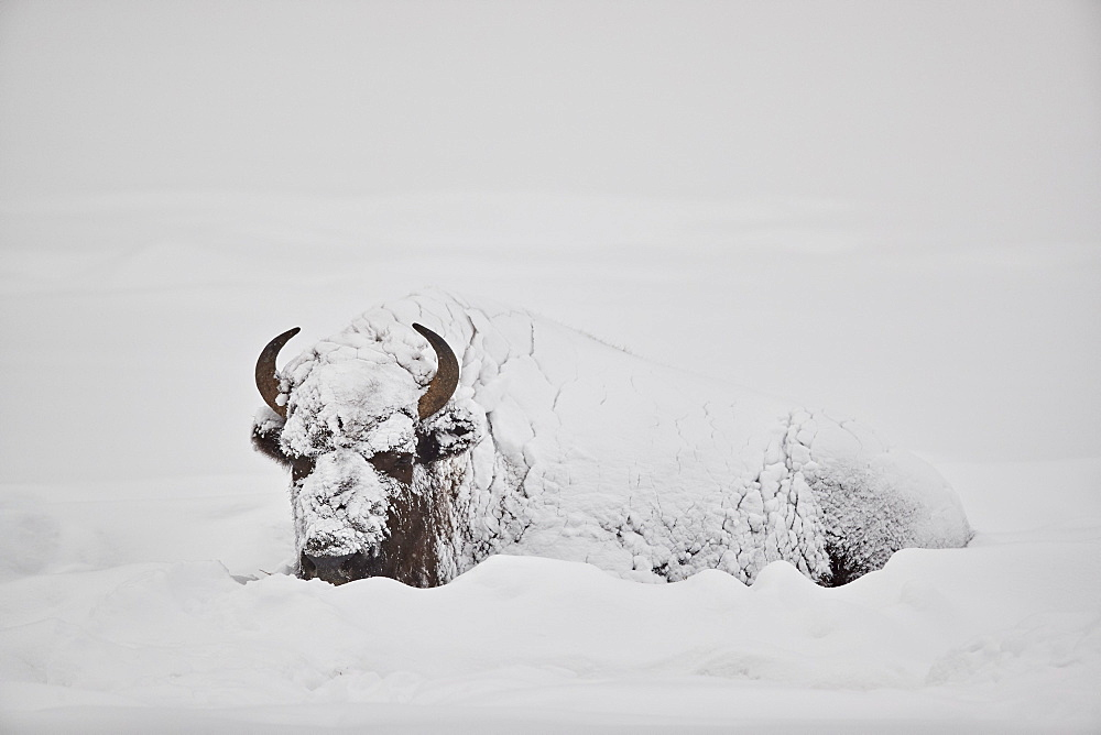 Bison (Bison bison) covered with snow in the winter, Yellowstone National Park, Wyoming, United States of America, North America
