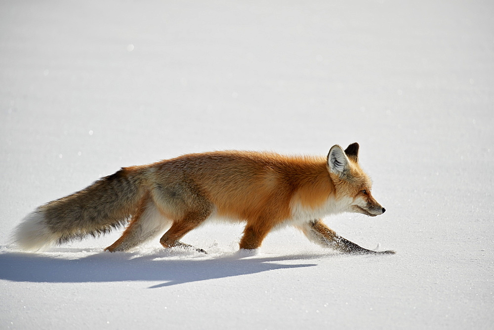 Red Fox (Vulpes vulpes or Vulpes fulva) running in the snow in winter, Grand Teton National Park, Wyoming, USA