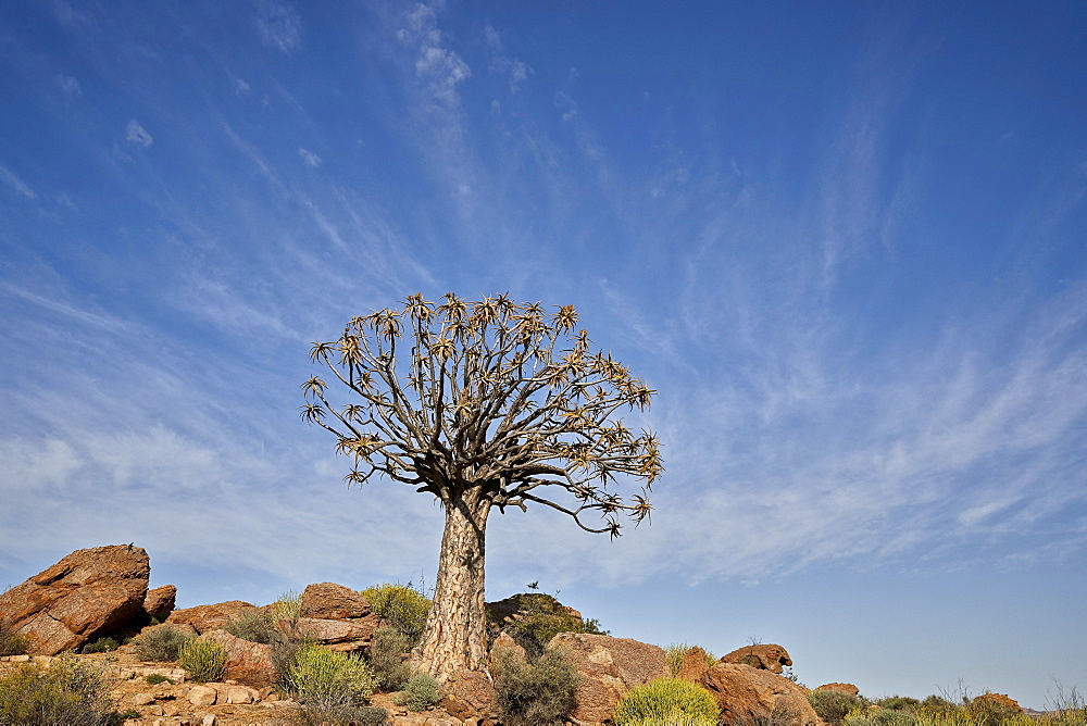 Quiver Tree (Kokerboom) (Aloe dichotoma), Namakwa, Namaqualand, South Africa, Africa - 764-5679