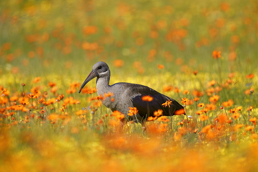 Hadeda Ibis (Bostrychia hagedash) among wildflowers, Namaqua National Park, Namakwa, Namaqualand, South Africa, Africa - 764-5680